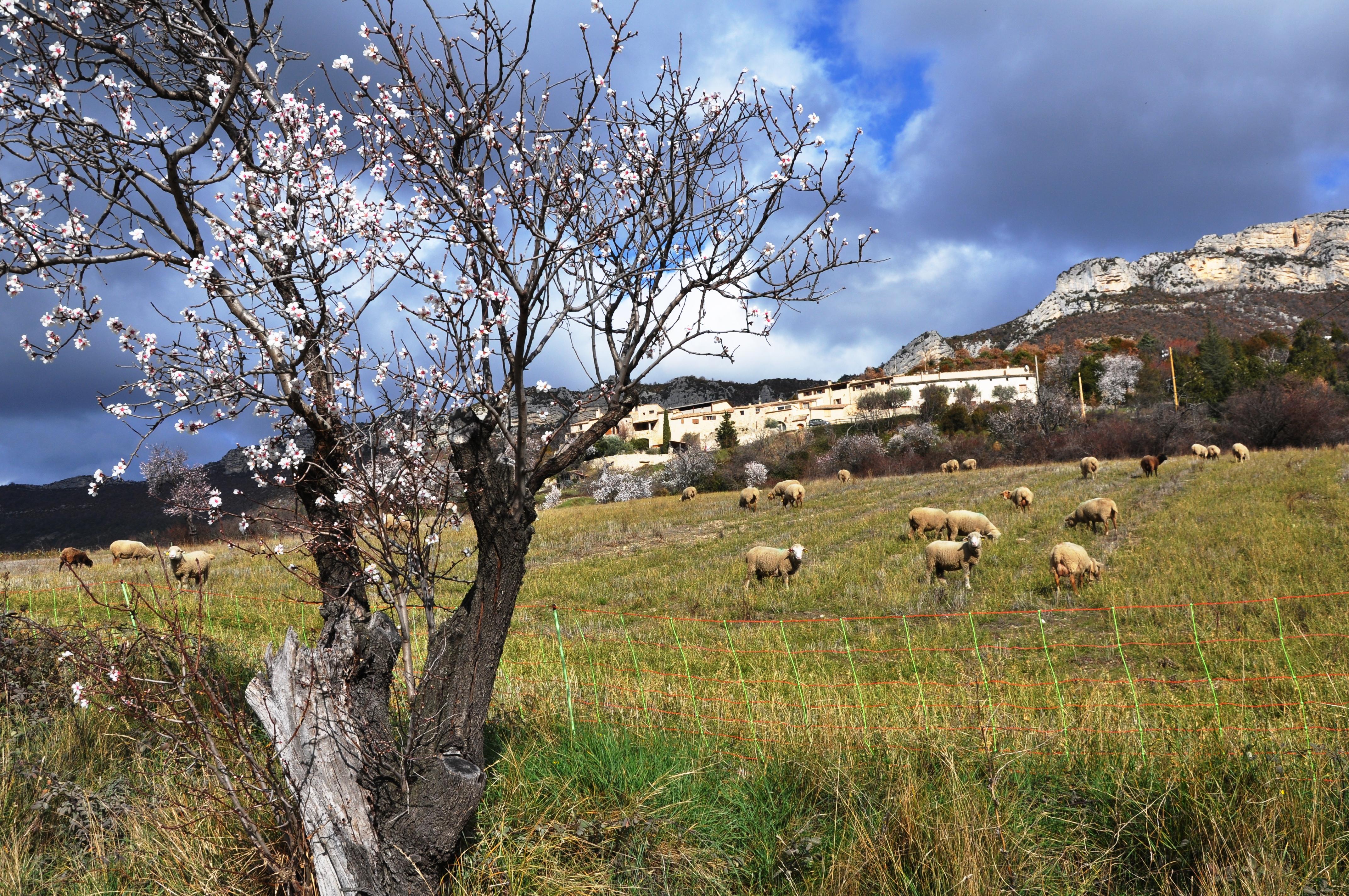 Hameau de la Batie avec les moutons de Roger